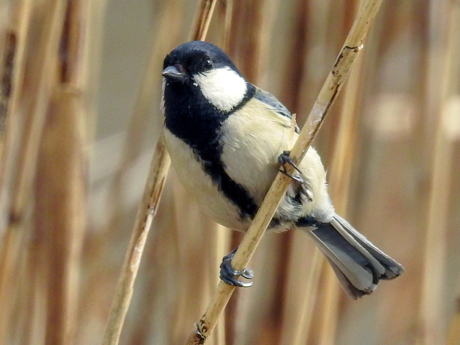 Japanese Tit - Anonymous eBirder