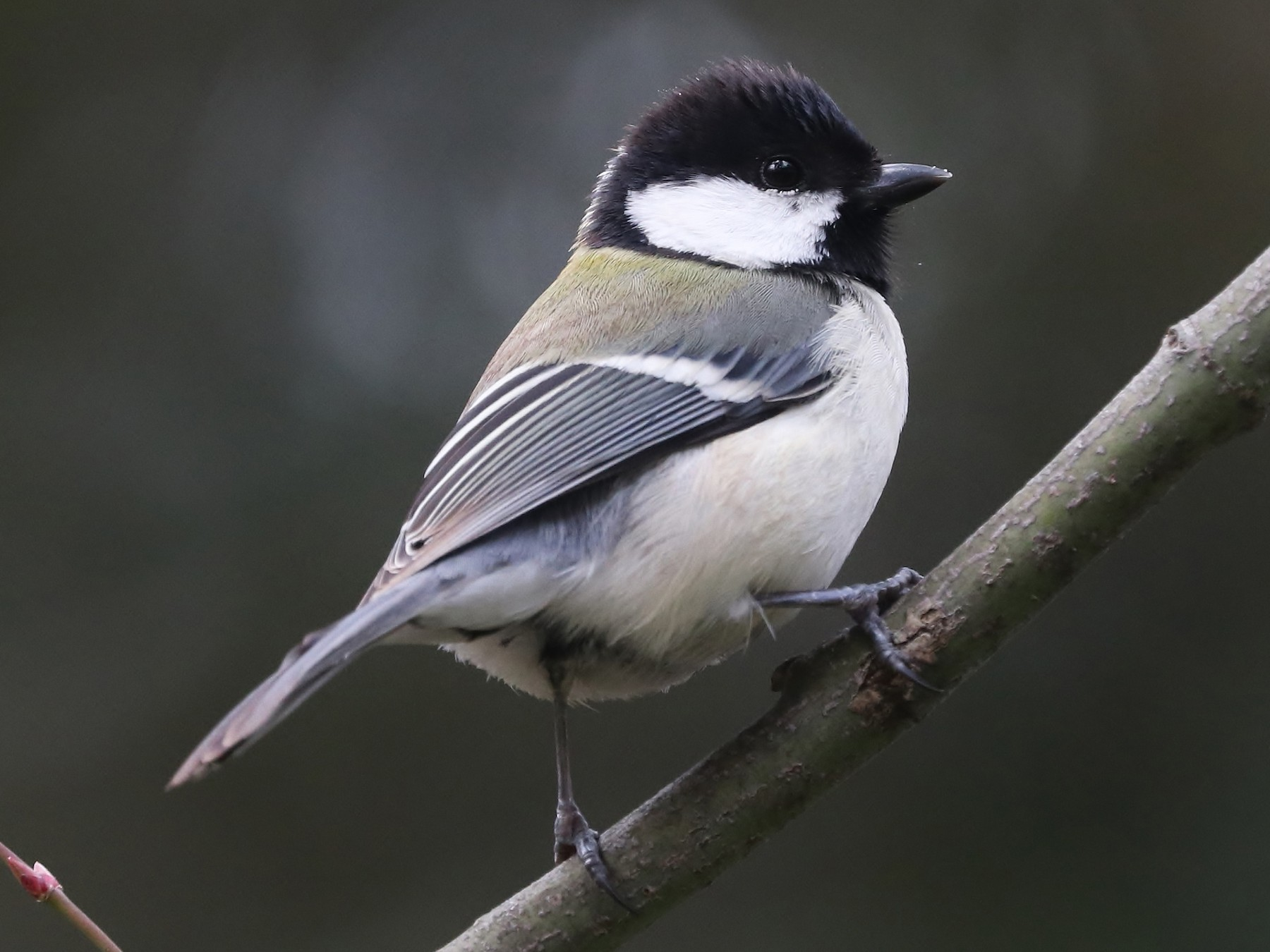 Japanese Tit - Rick Franks