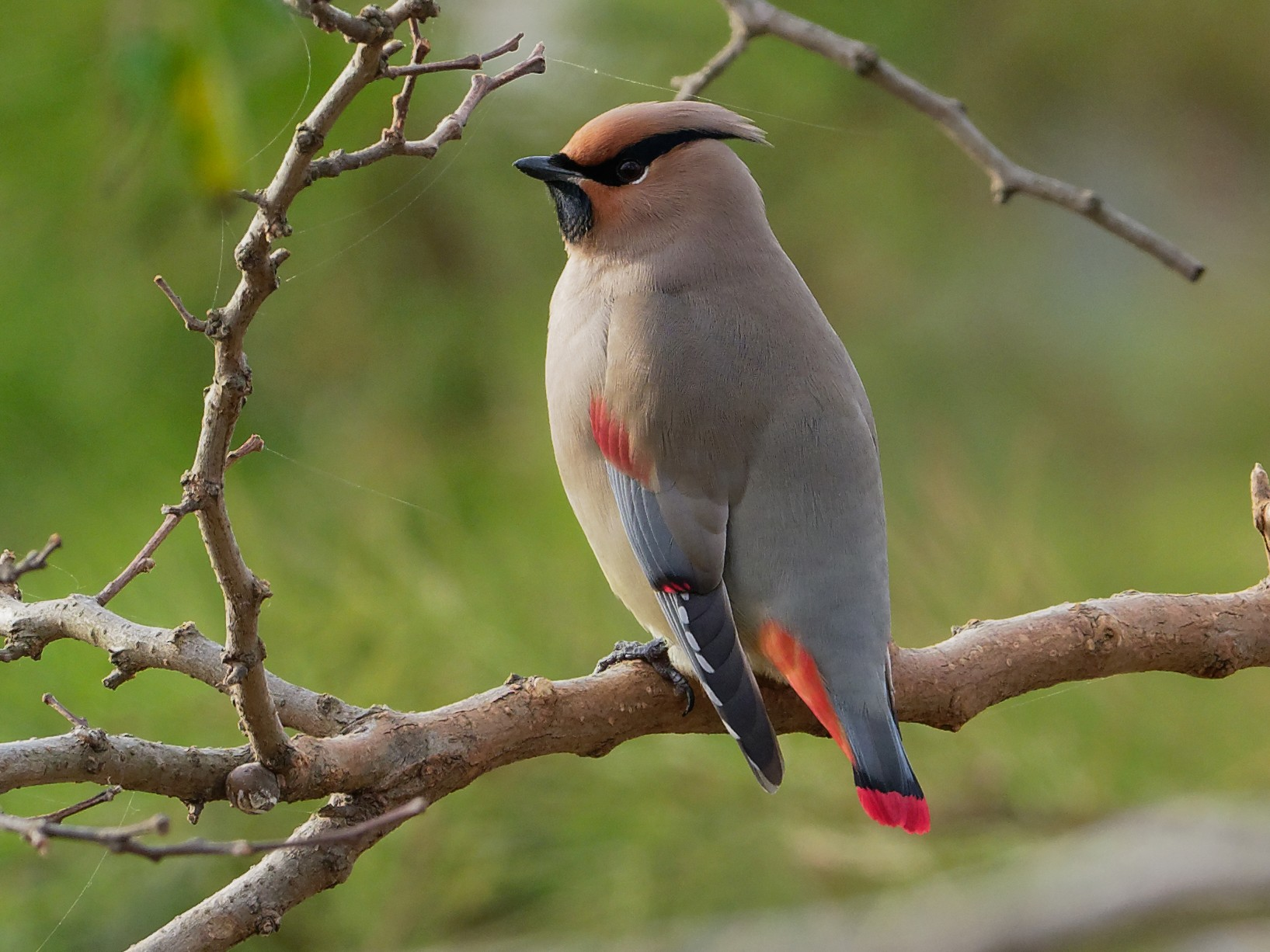 Japanese Waxwing - Vincent Wang