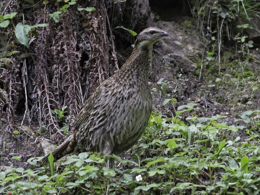 Koklass Pheasant - Arpit Deomurari