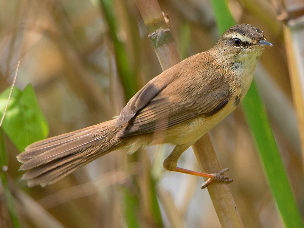 Manchurian Reed Warbler - Ayuwat Jearwattanakanok