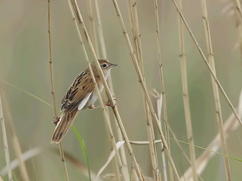 Marsh Grassbird - Cheng Qian
