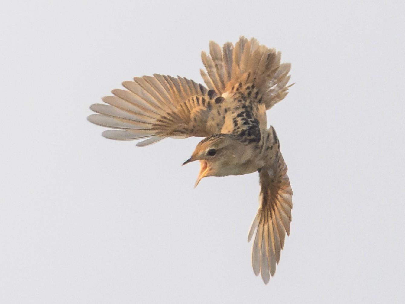 Marsh Grassbird - Charles Wu