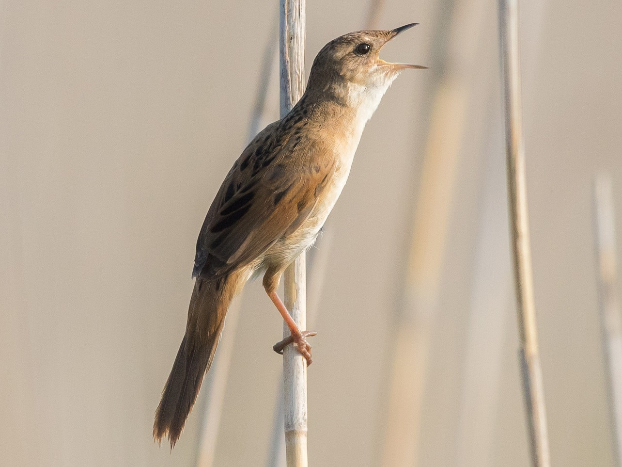 Marsh Grassbird - yann muzika