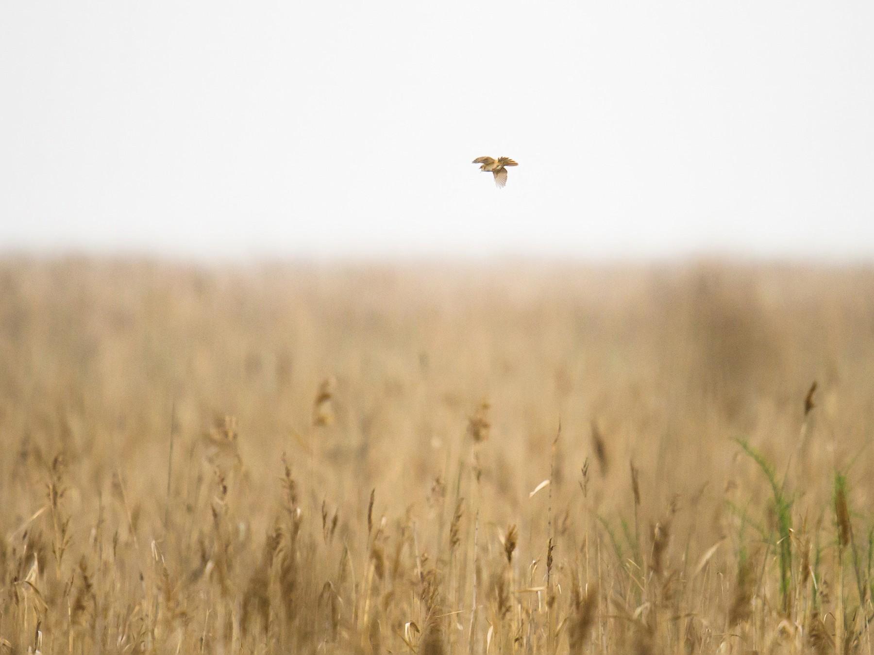 Marsh Grassbird - Craig Brelsford