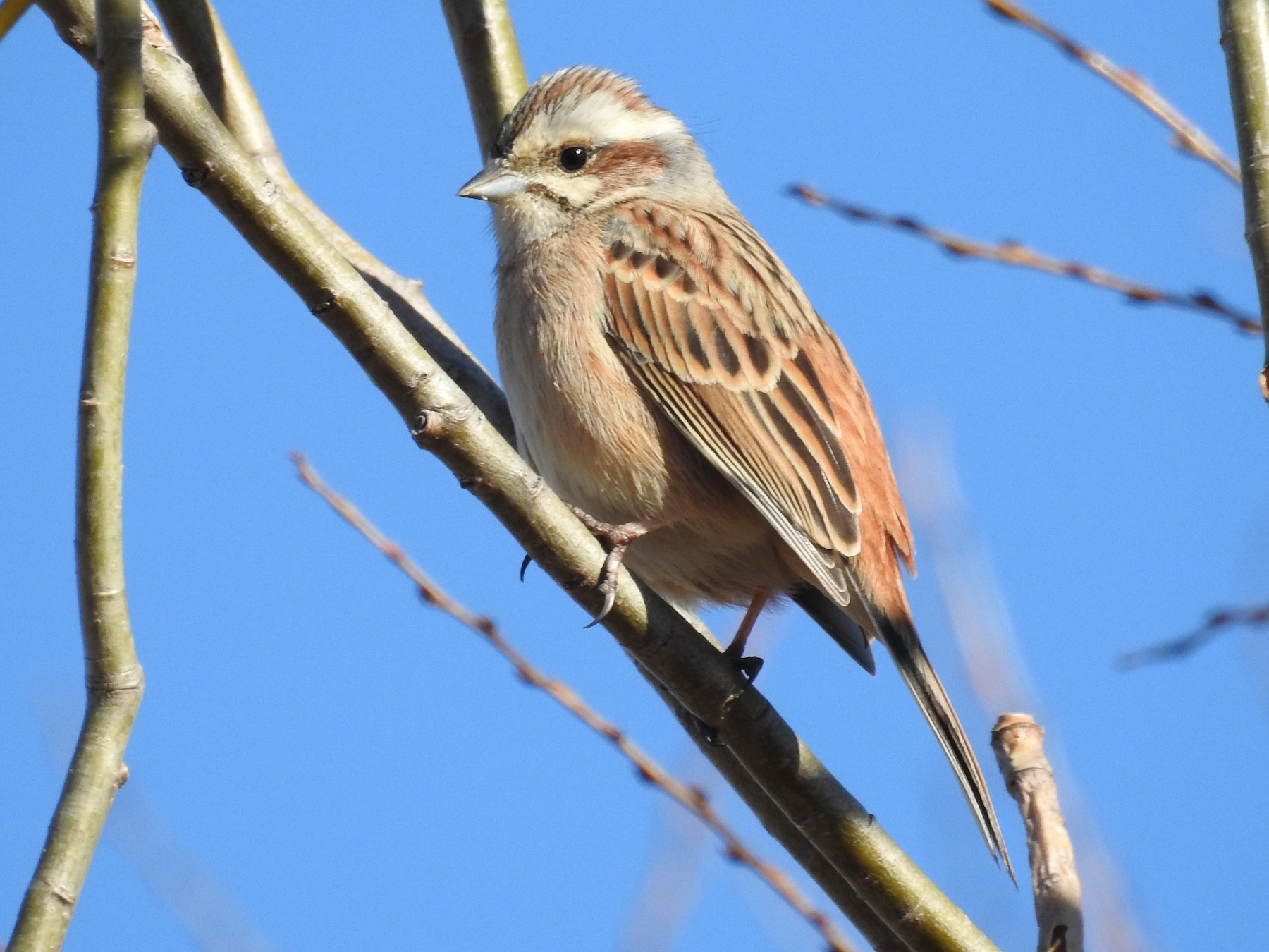 Meadow Bunting - Anonymous eBirder