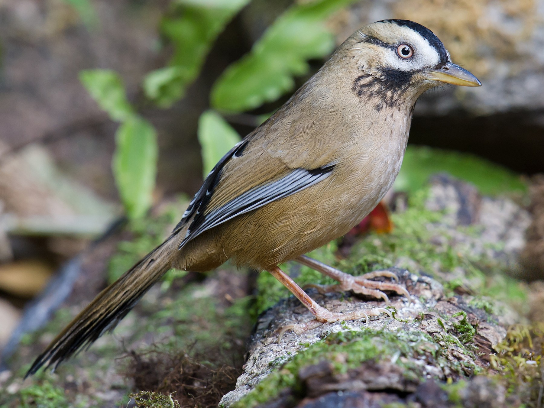Moustached Laughingthrush - Craig Brelsford