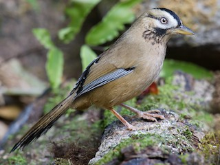 - Moustached Laughingthrush