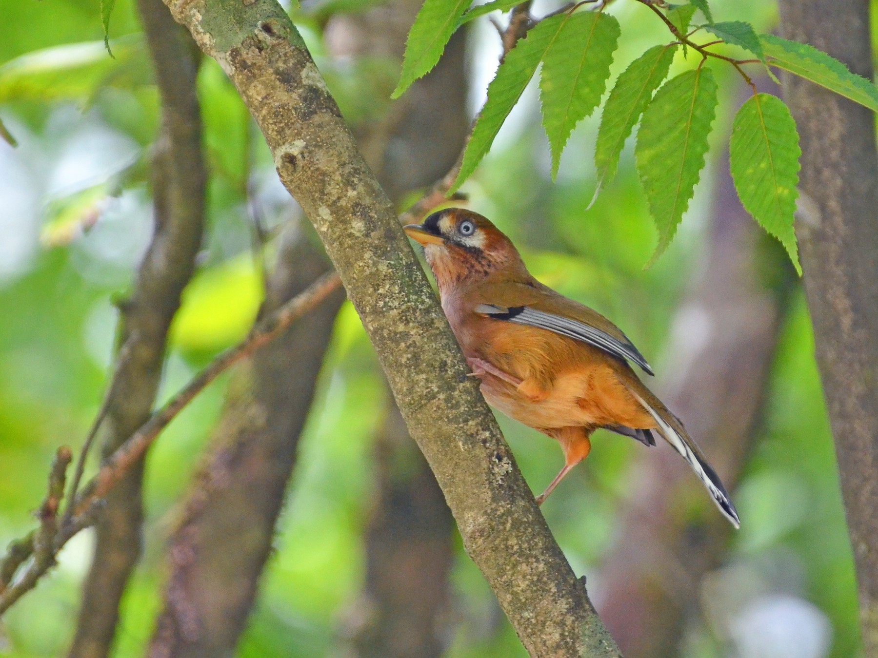 Moustached Laughingthrush - Chun-Chieh Liao