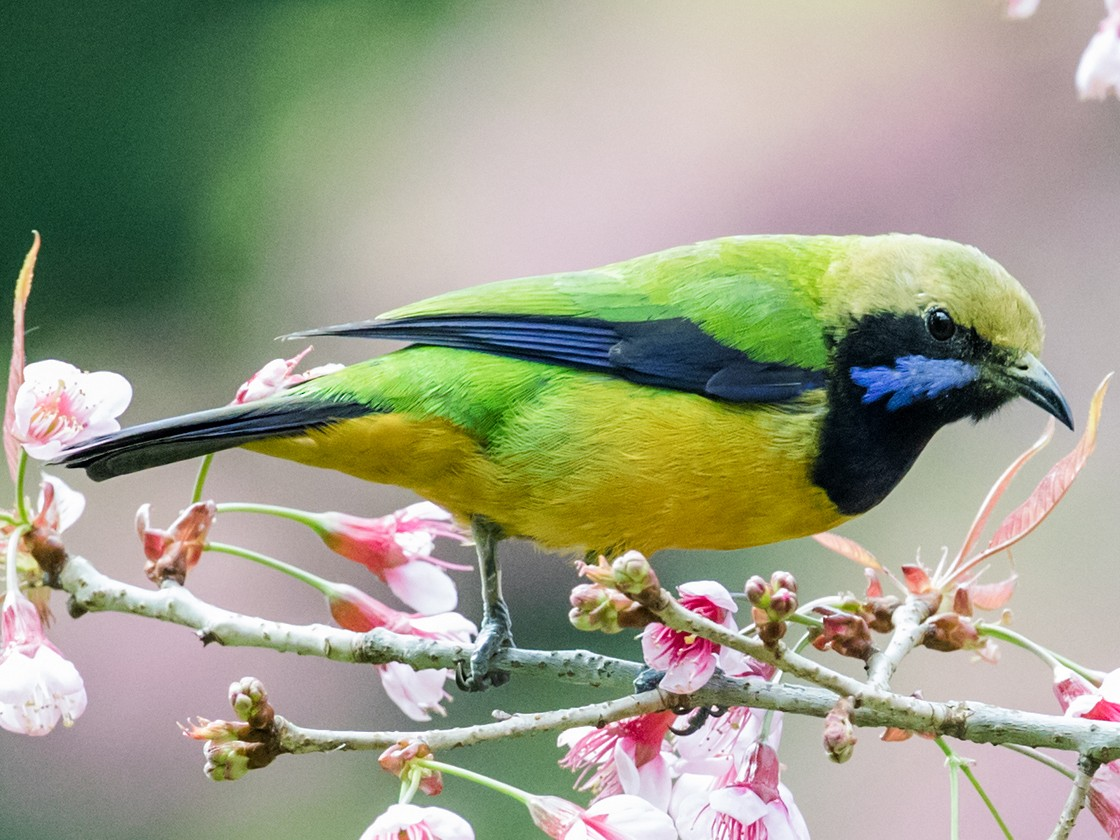 Orange-bellied Leafbird - Nick Athanas