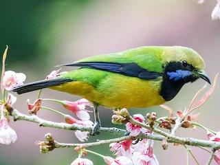 - Orange-bellied Leafbird (Orange-bellied)