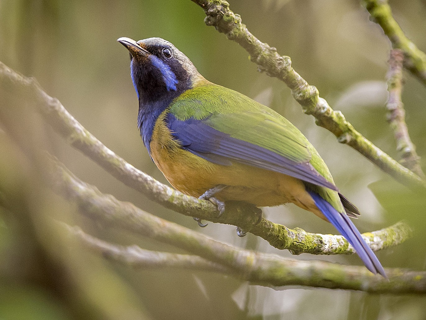 Orange-bellied Leafbird - John Clough