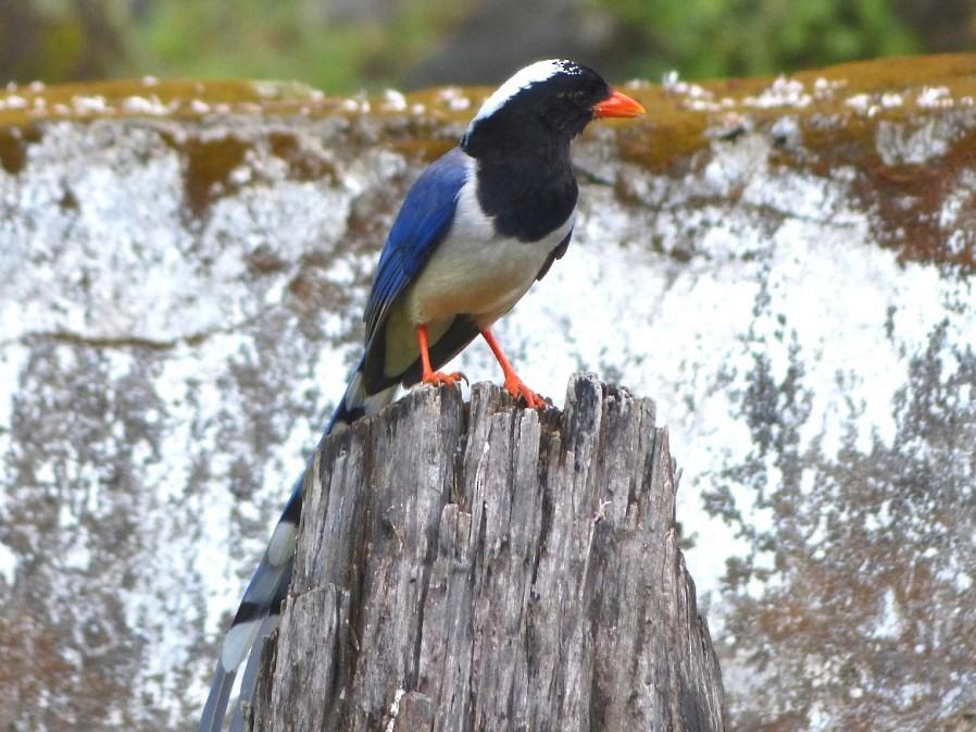 Red-billed Blue-Magpie - forest venkat