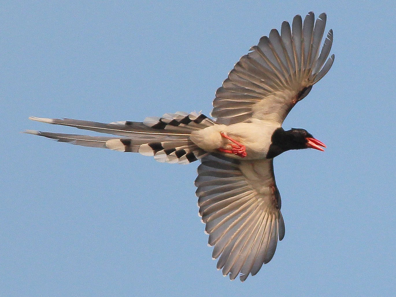 Red-billed Blue-Magpie - Neoh Hor Kee