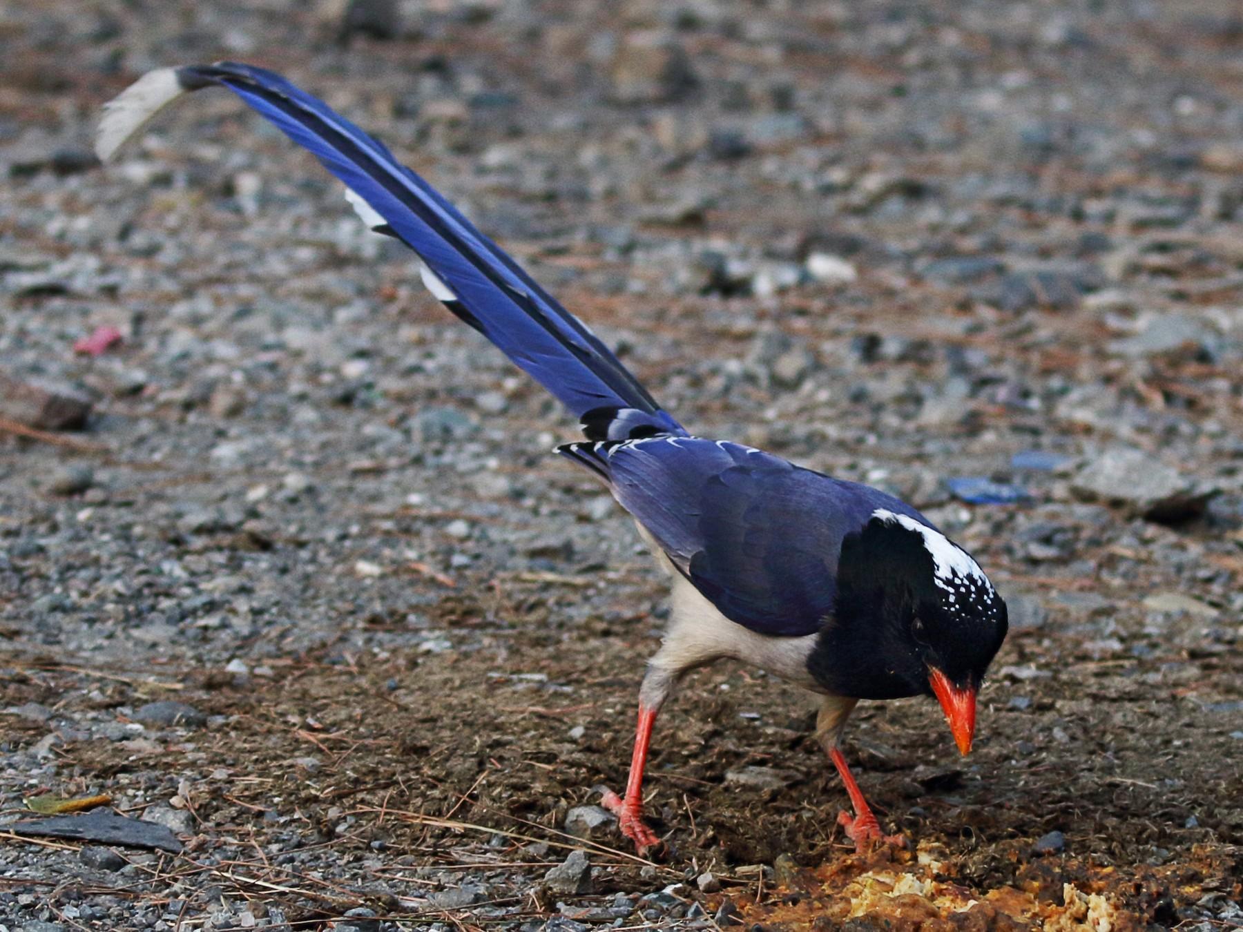 Red-billed Blue-Magpie - Christopher Escott