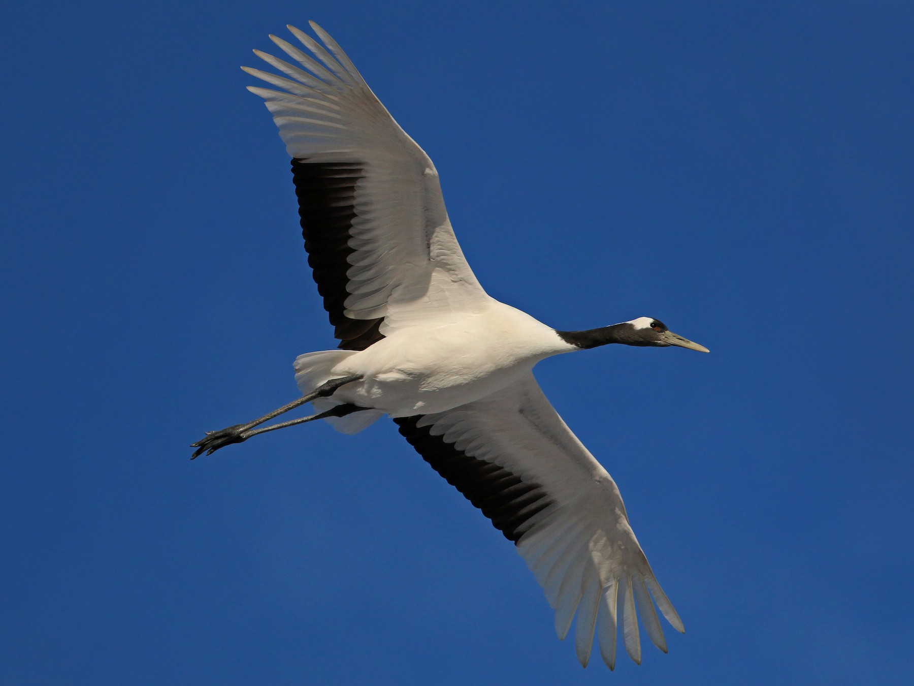 Red-crowned Crane - Ian Davies