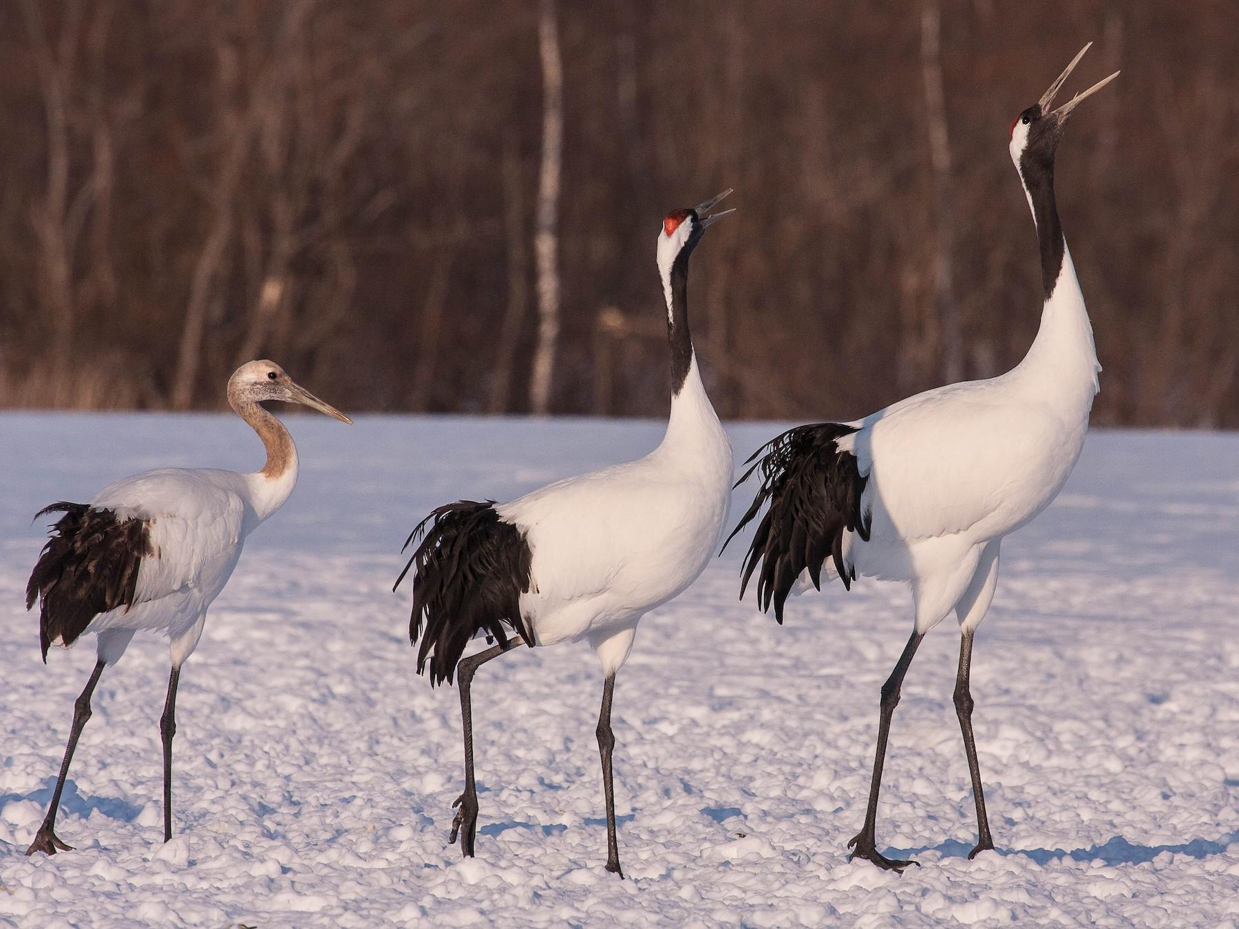 Red-crowned Crane - Eric VanderWerf