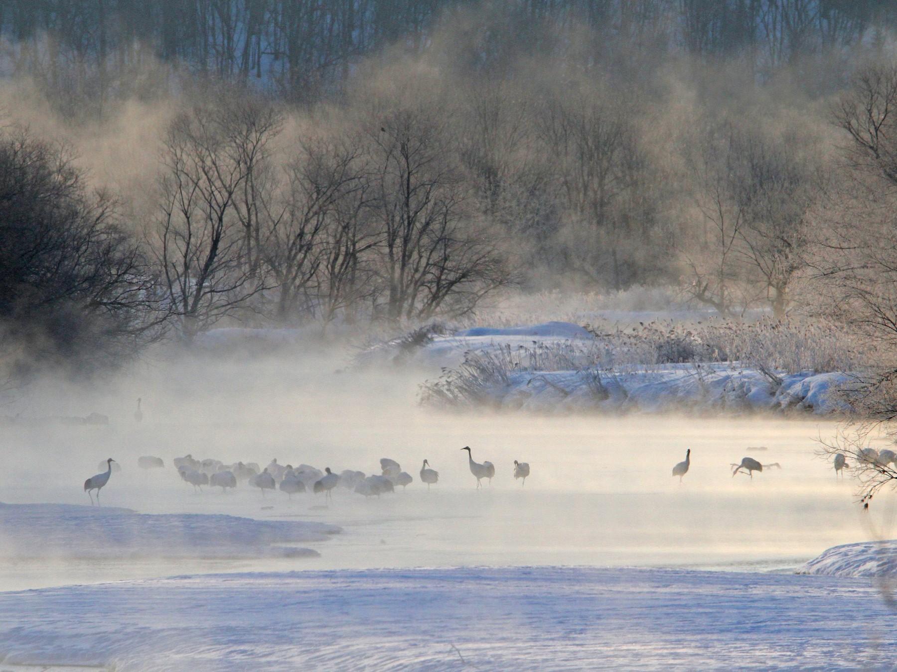 Red-crowned Crane - Christoph Moning