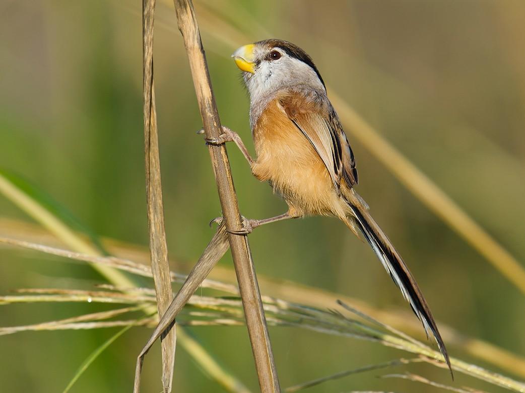 Reed Parrotbill - Craig Brelsford