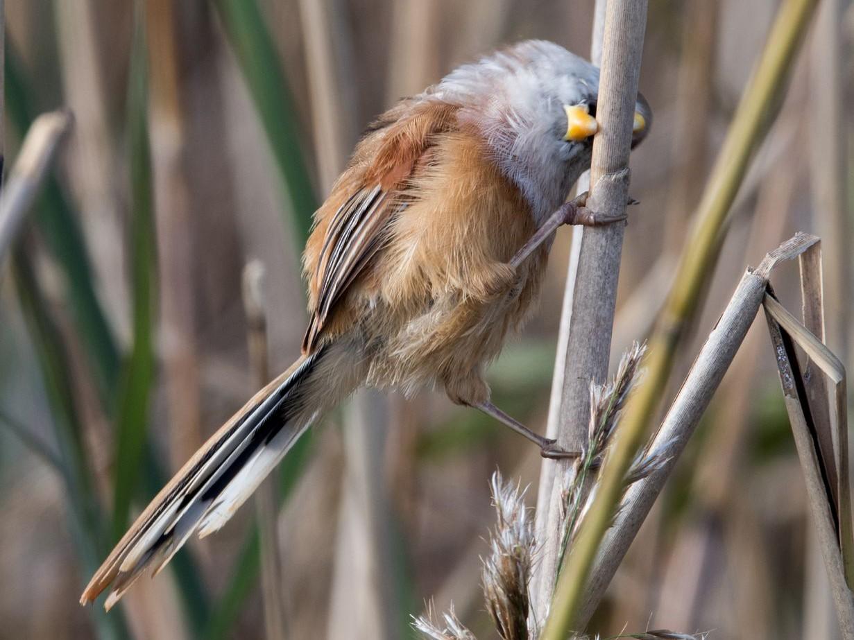 Reed Parrotbill - Kai Pflug