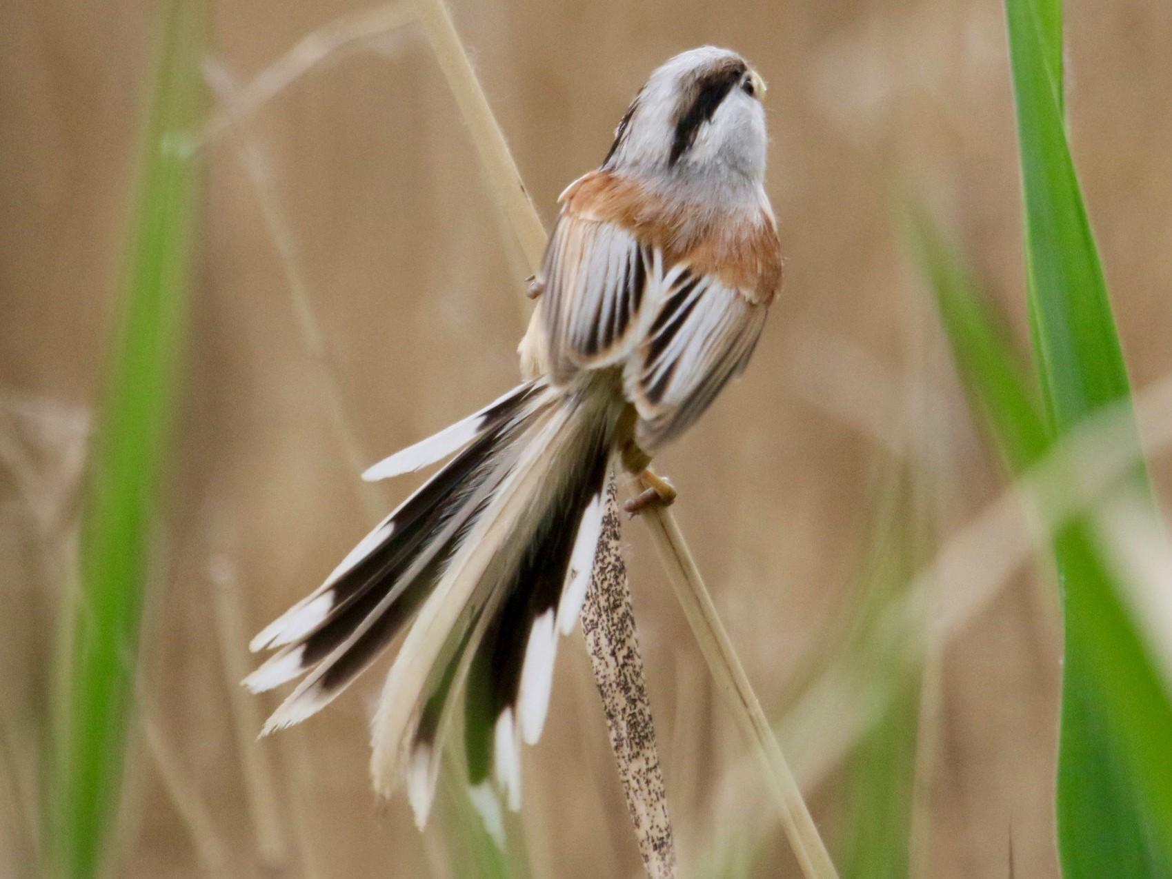 Reed Parrotbill - Owen Krout