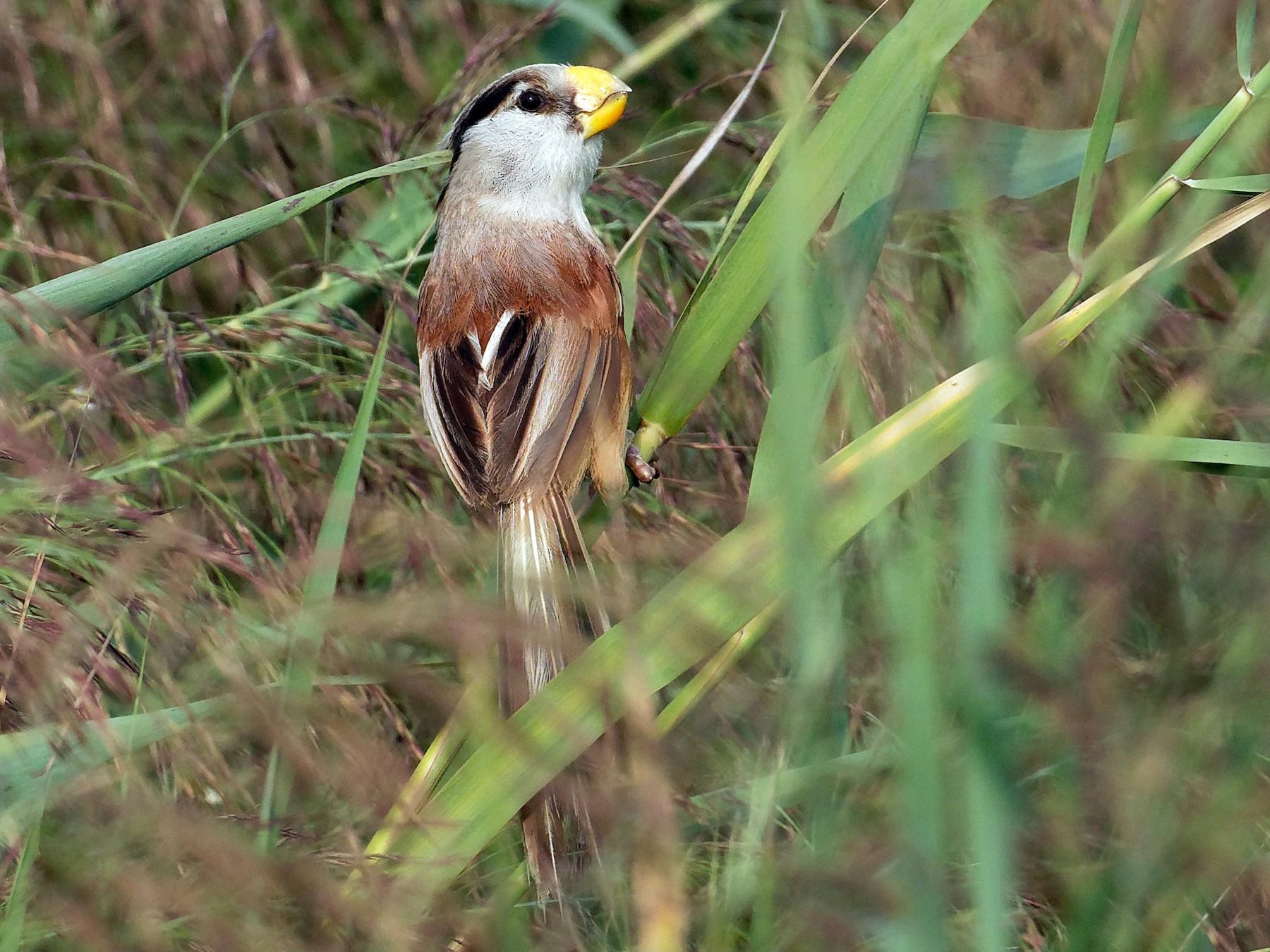 Reed Parrotbill - Vincent Wang