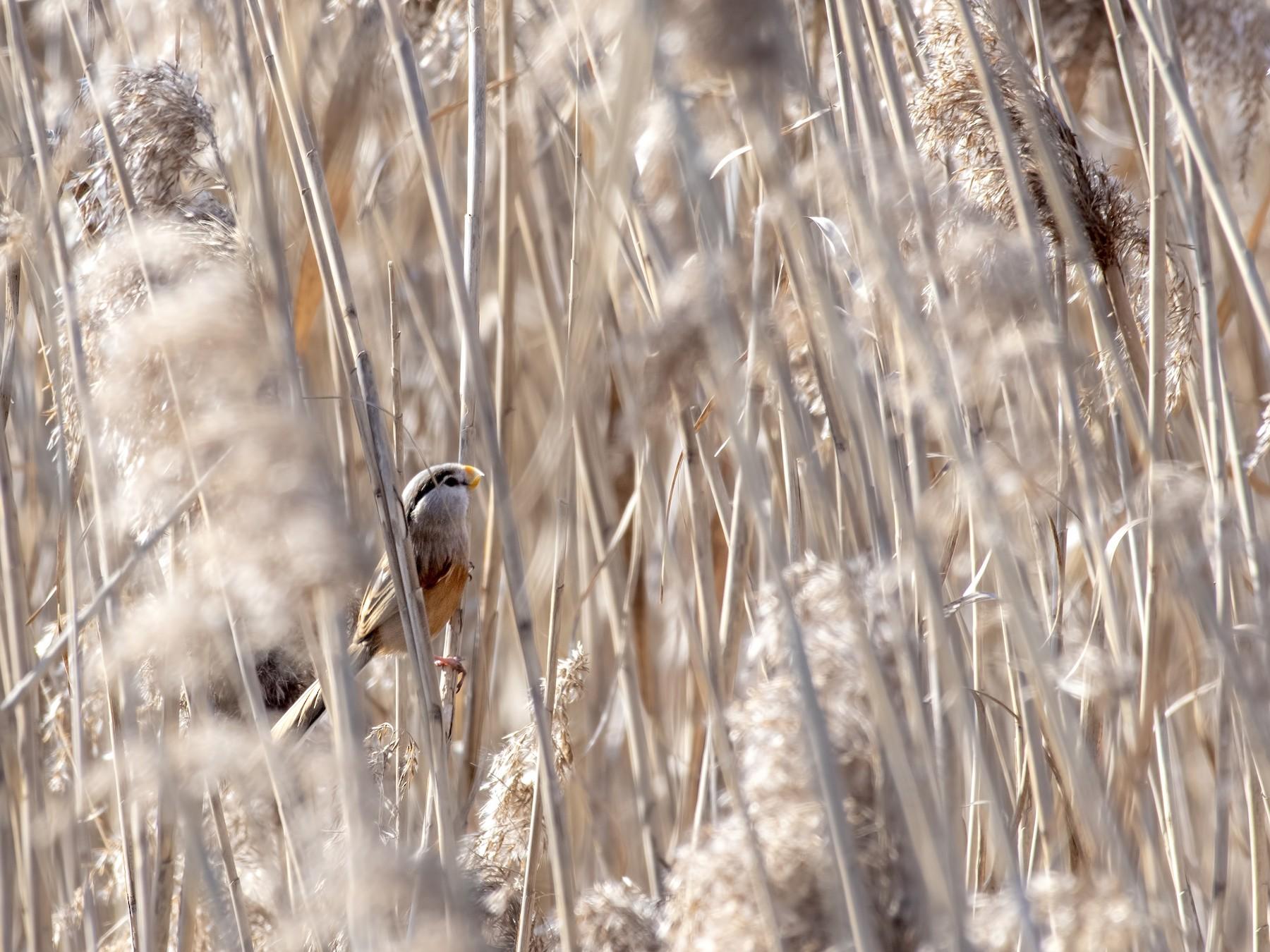 Reed Parrotbill - Carl Giometti