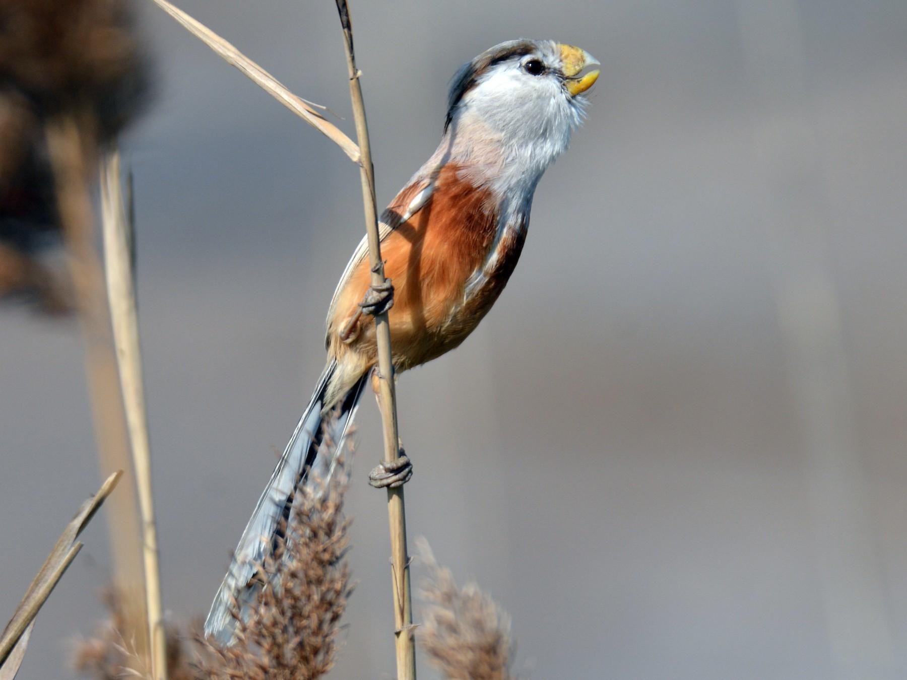 Reed Parrotbill - Yasuhiko Komatsu
