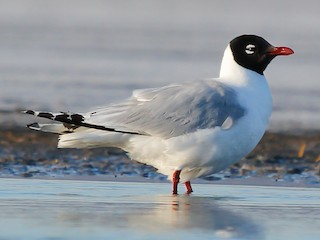 - Relict Gull