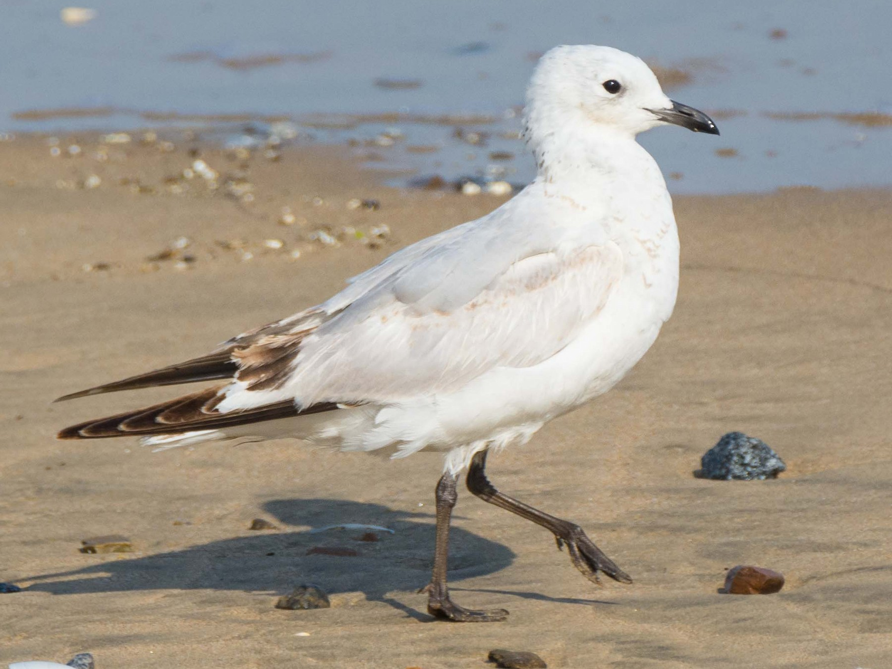 Relict Gull - David Price