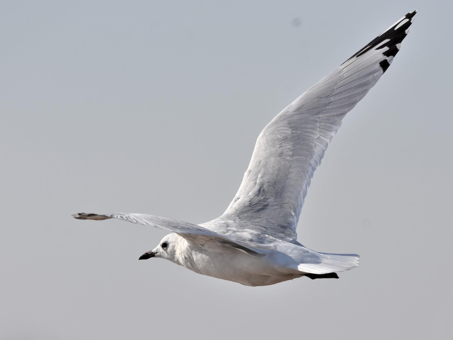 Relict Gull - Steve Bale
