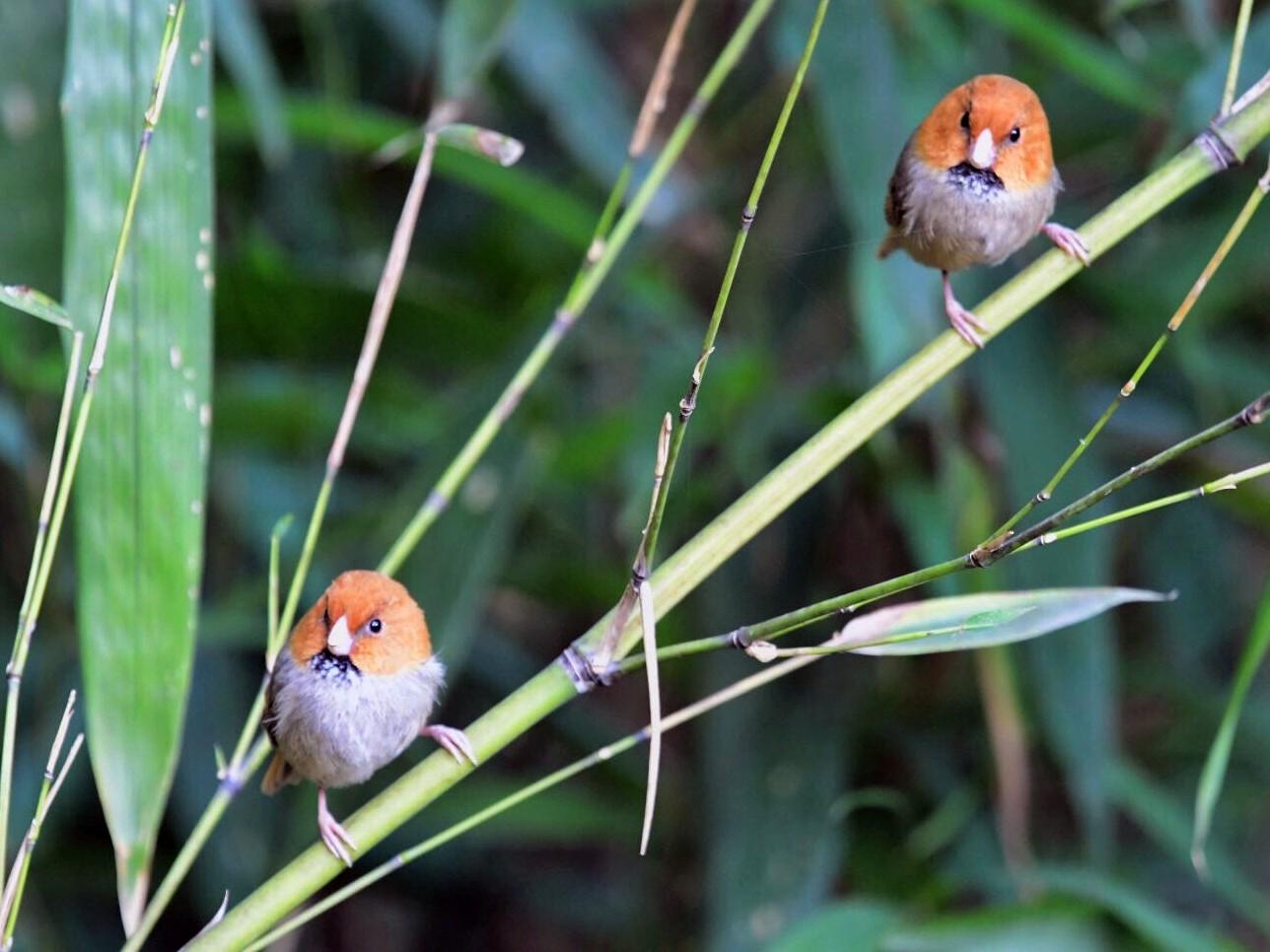 Short-tailed Parrotbill - Cheng Qian