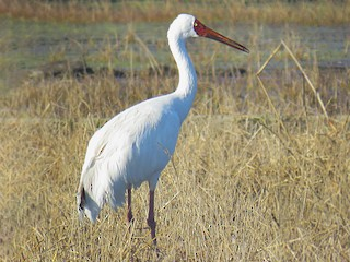 - Siberian Crane