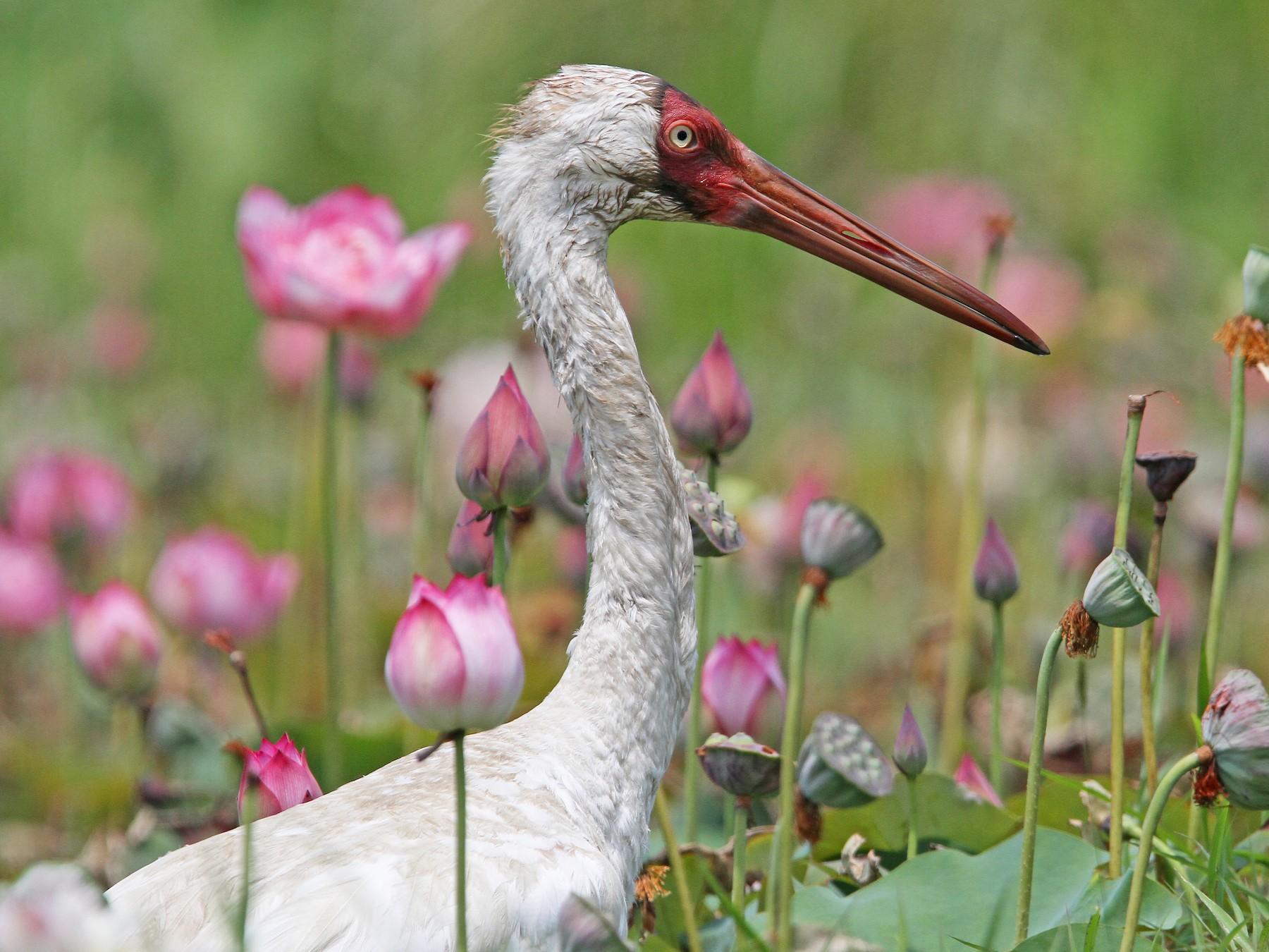 Siberian Crane - Christoph Moning