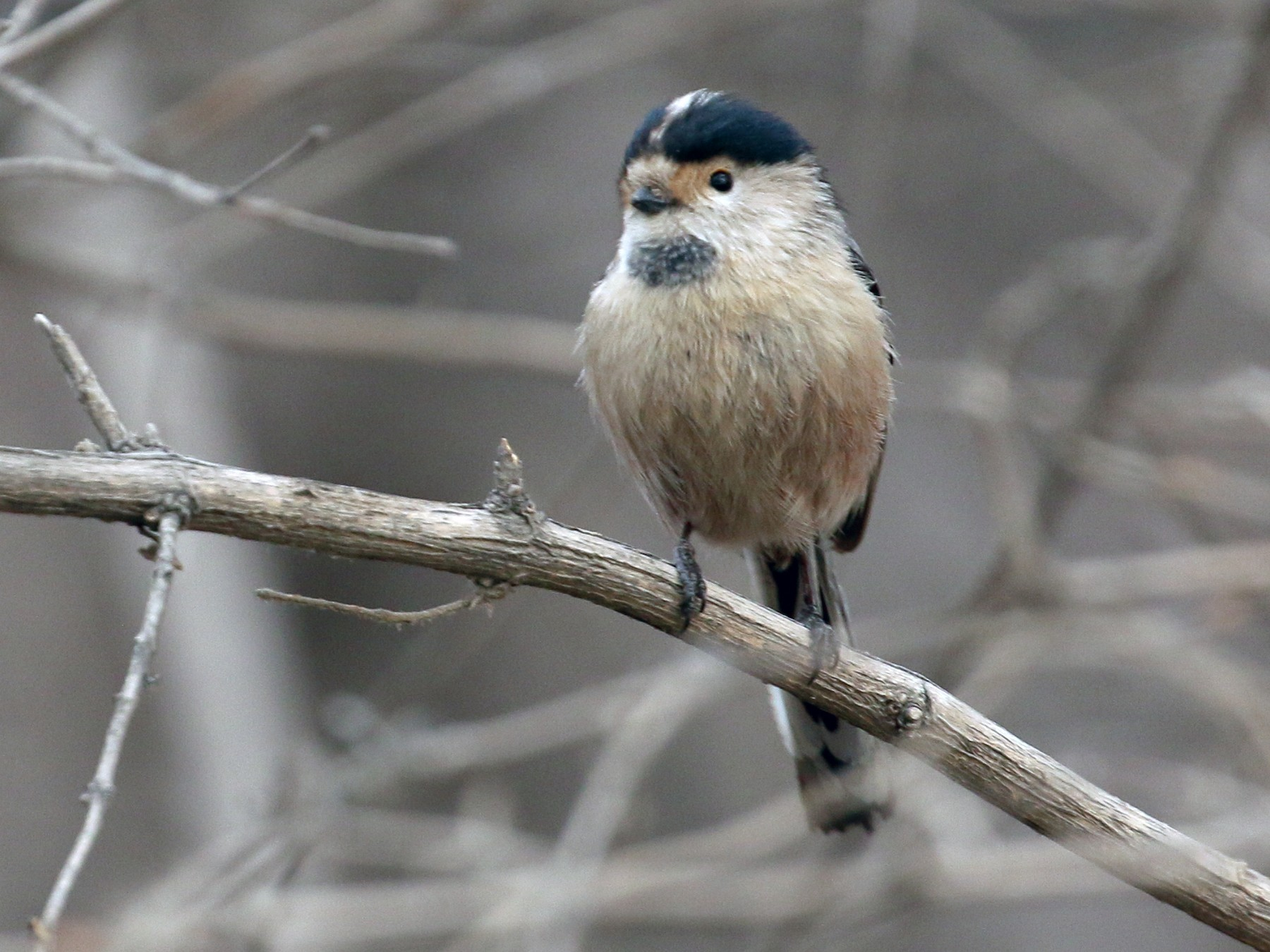 Silver-throated Tit - Tommy Pedersen