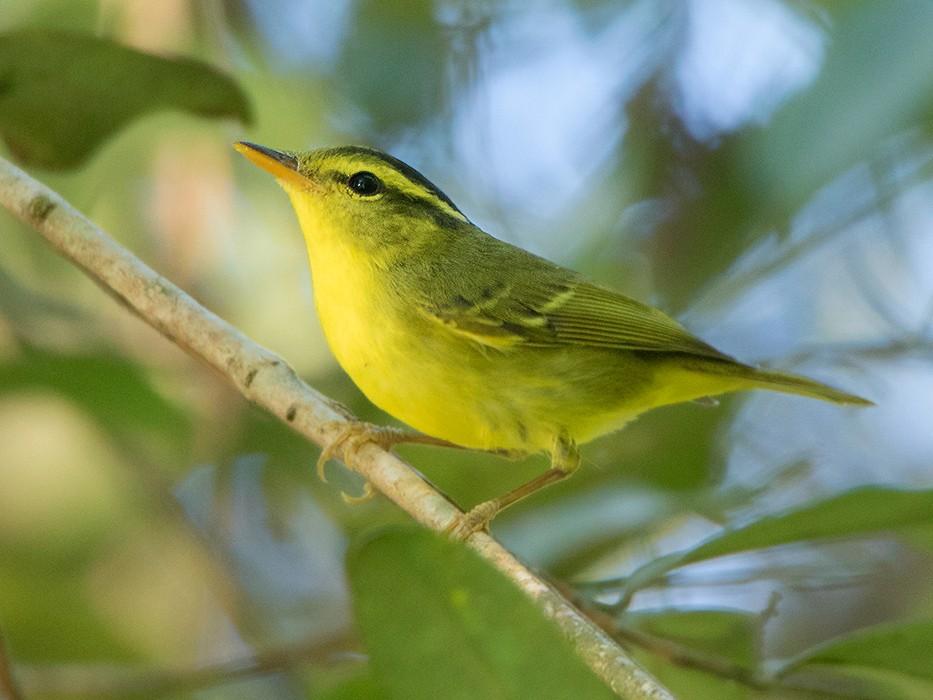 Sulphur-breasted Warbler - Ayuwat Jearwattanakanok