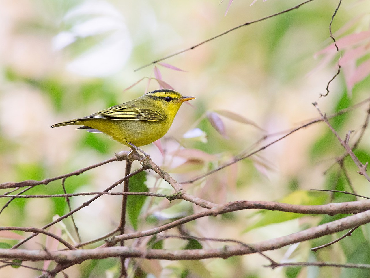 Sulphur-breasted Warbler - Natthaphat Chotjuckdikul