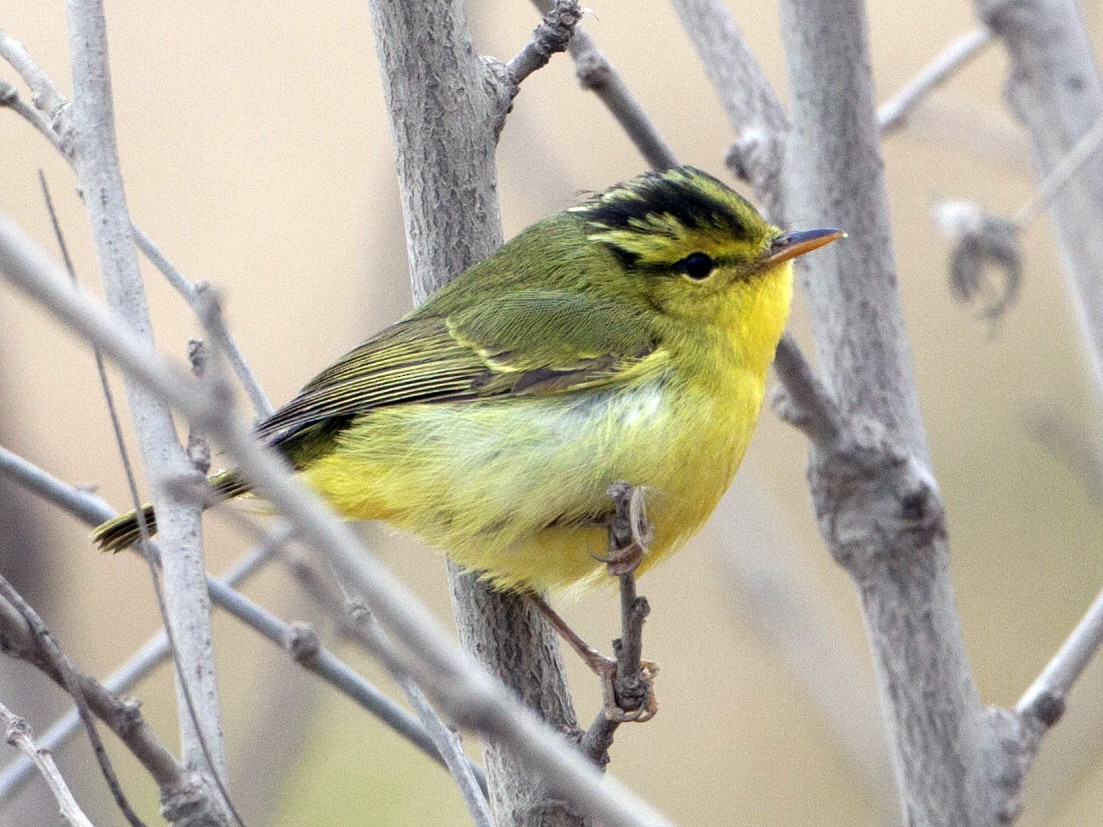 Sulphur-breasted Warbler - Adrian Boyle