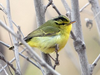 - Sulphur-breasted Warbler