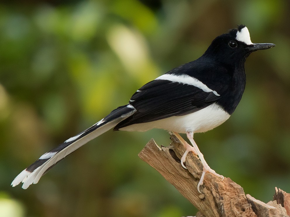 White-crowned Forktail - Ayuwat Jearwattanakanok