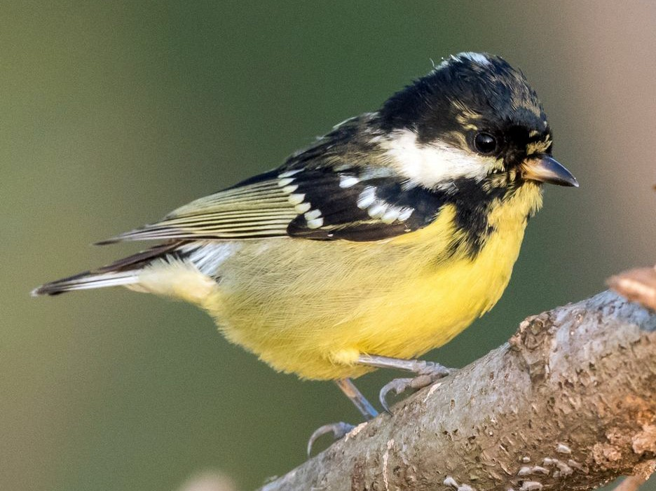 Yellow-bellied Tit - Kai Pflug