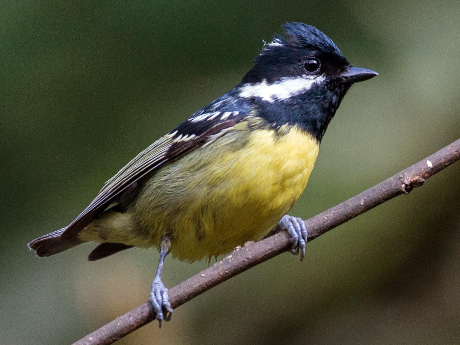 Yellow-bellied Tit - Ian Davies