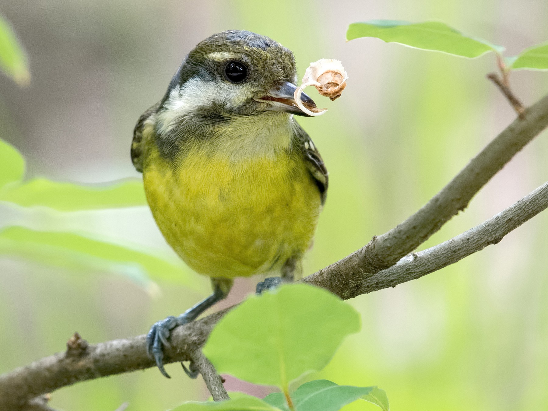 Yellow-bellied Tit - Shailesh Pinto