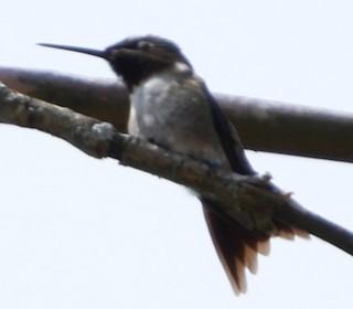 Ruby-throated Hummingbird, ML158958221