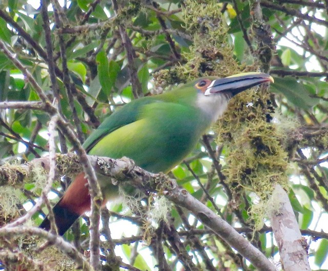Southern Emerald-Toucanet