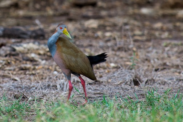 Giant Wood-Rail