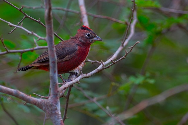 Red-crested Finch