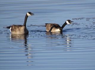 Canada Goose, ML159339931