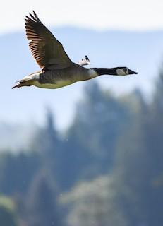 Canada Goose, ML159596891