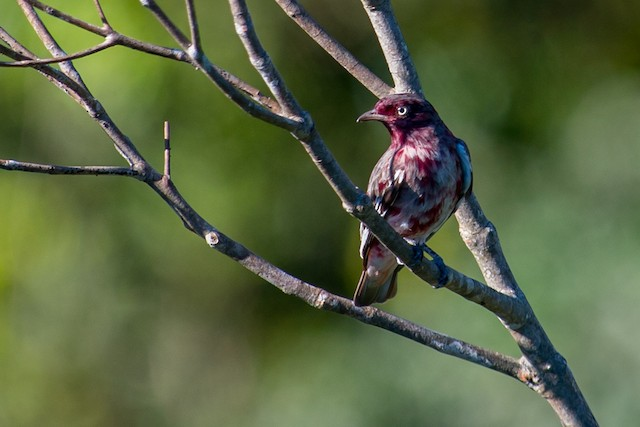 Immature male Pompadour Cotinga.